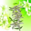 纯洁的百合花app
